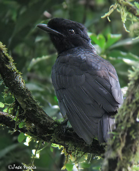Bare-necked Umbrellabird